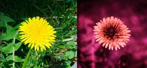 Visible and ultraviolet photos of dandelion