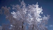 Infrared image of tree