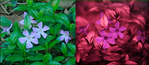 Visible and ultraviolet photos of vinca flowers